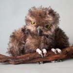 Sofya (owl).
