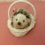 Hedgehog. Mnt-Bird.2014